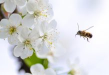 Honey Bee is about to pollinate flowers